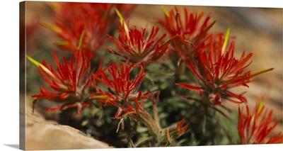 Close-up of flowers, Indian Paintbrush, Canyonlands National Park, Utah, (Castilleja Mutis)