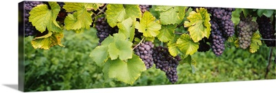 Close up of grapes hanging on plants in a vineyard
