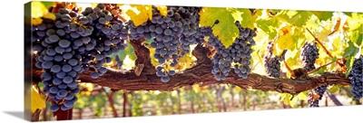 Close up of grapes in a vineyard Napa Napa County California