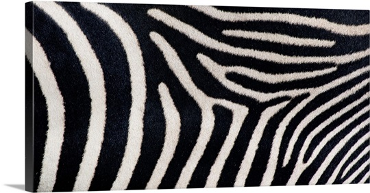 Close-up of Greveys zebra stripes