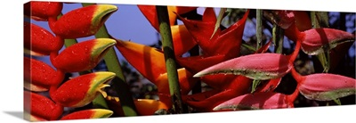 Close up of Heliconia flowers, Hawaii