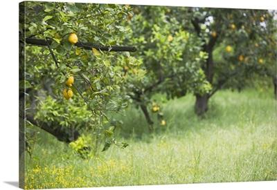 Close-up of lemon groves, Sorrento, Naples, Campania, Italy