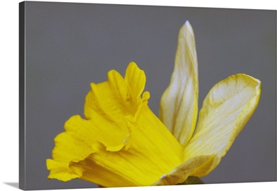 Close up of narcissus or daffodil flower blossom, green background.