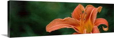 Close up of Orange Daylily Hemerocallis fulva