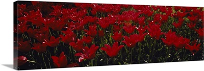 Close-up of red tulips in a field, Holland, Michigan