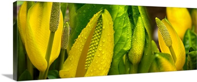 Close-up of skunk cabbage
