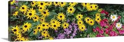 Close-up of Sunflowers, Adirondack Mountains, New York State