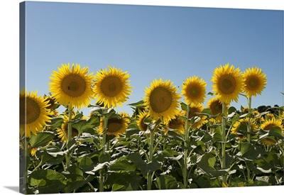 Close up of sunflowers (Helianthus annuus)