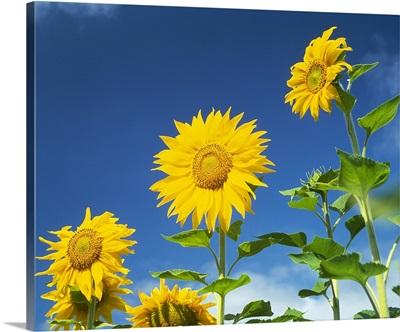 Close up of sunflowers (Helianthus annuus), Japan