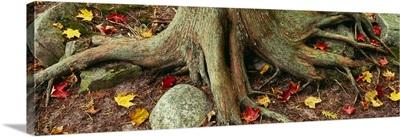 Close-Up Of Tree Roots, Sleeping Bear Dunes National Lakeshore, Michigan