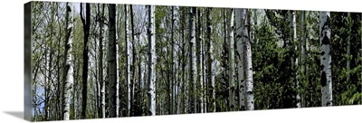 Close-up of trees in a forest, Coconino National Forest, Flagstaff, Arizona