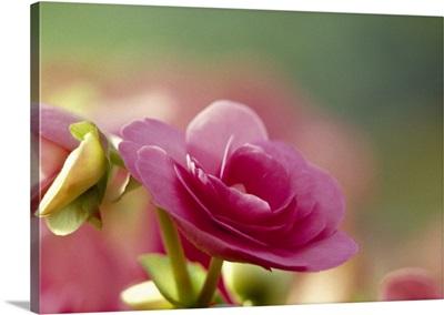 Close up of wild roses
