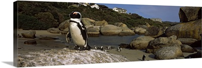 Colony of Jackass penguins (Spheniscus demersus) on the beach, Boulder Beach, Cape Town, Western Cape Province, Republic of South Africa