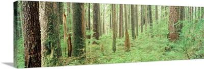 Colorado, aspen trees