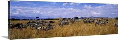 Common Zebra Maasai Mara Kenya Africa