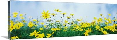 Coreopsis flowers in a field