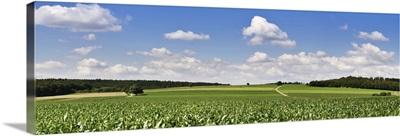 Corn crop in a field, Baden-Wurttemberg, Germany