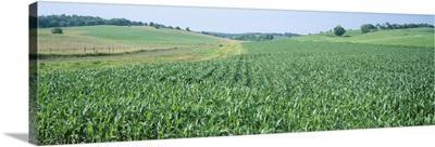Corn crop in a field, Iowa County, Iowa