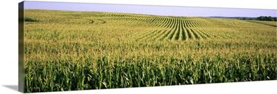 Corn crop in a field, Southeast Minnesota, Minnesota