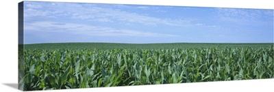 Corn crop on a landscape, Kearney County, Nebraska