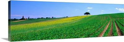 Corn Field Alsace France