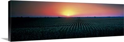 Corn field at sunrise Sacramento Co CA