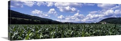 Corn field Otsego Co NY