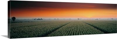 Corn field Sacramento Co CA