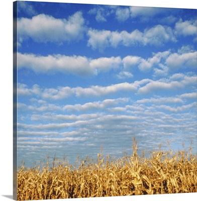 Corn field, Waconia, MN, USA