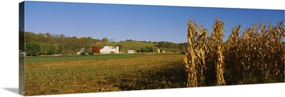 Corn in a field after harvest, along SR19, Ohio