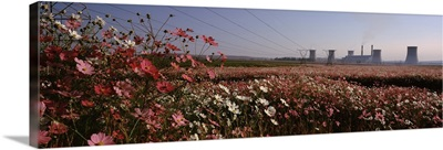 Cosmos flowers in a field with a power station in the background South Africa