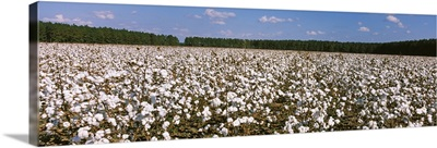 Cotton crops in a field Georgia