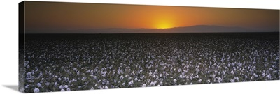 Cotton crops in a field, San Joaquin Valley, California