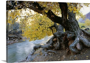 Cottonwood Tree Beside Stream Wall Art Canvas Prints