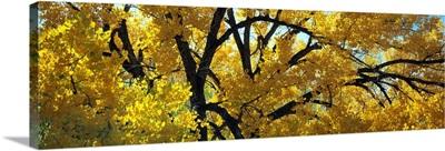Cottonwood Trees Taos NM