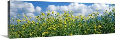 Cowpen daisies in a field