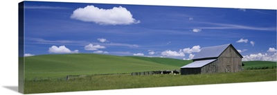 Cows and a barn in a wheat field, Washington State