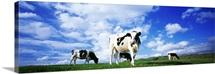 Cows England