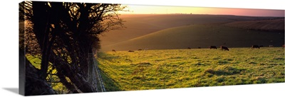 Cows grazing in a field Flixton Yorkshire Wolds England