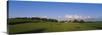 Cows grazing in a field with a barn in the background, Kent County, Michigan