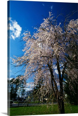 Crabapple tree (Malus sylvestris) in bloom, New York