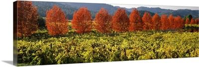 Crop in a vineyard, Napa Valley, California,