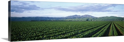 Crops in a farm, California