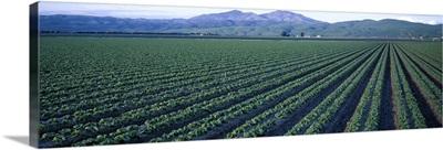 Crops in a field, California