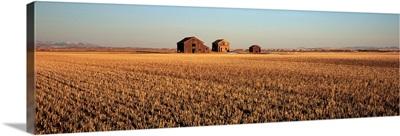 Crops in a field, Hobson, Montana