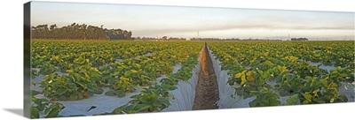 Cultivated strawberry field, Oxnard, Ventura County, California