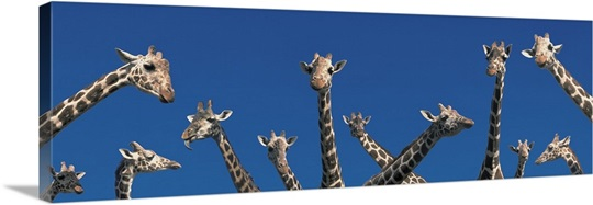 Curious Giraffes concept Kenya Africa
