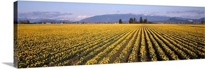 Daffodil Fields Mount Vernon WA