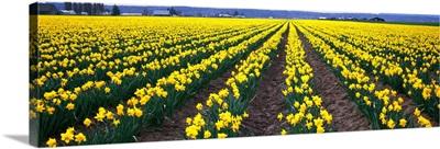 Daffodils Skagit Valley WA