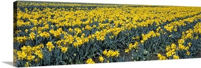 Daffodils WA